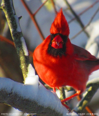 Cardinal sitting on branch in Montauk, NY